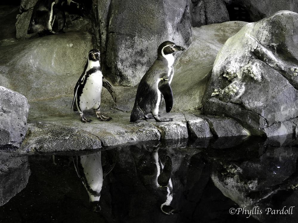 Magellenic Penguins