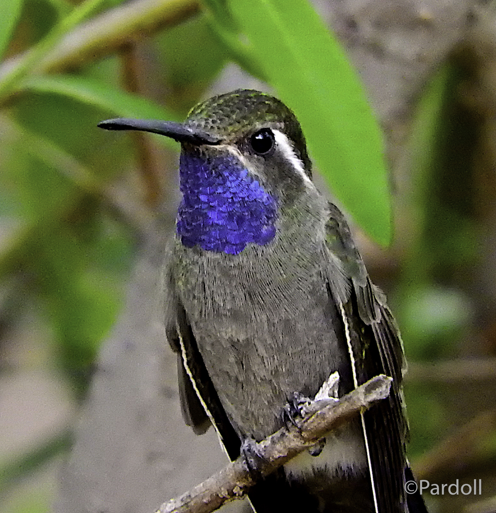 Blue throated hummer