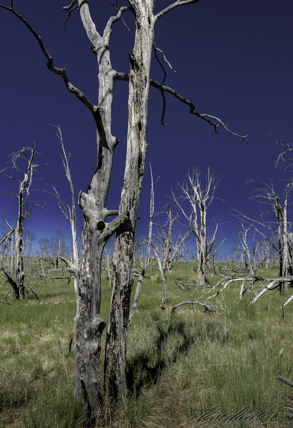 There have been many fires on the mesa in recent decades.  The park identifies the fire damaged areas by name and provides the year that the fire took place.  The trees still standing give the area an eerie feeling.  Tom called these the 'hugging trees'.  I can see them as the 'dancing trees'.
