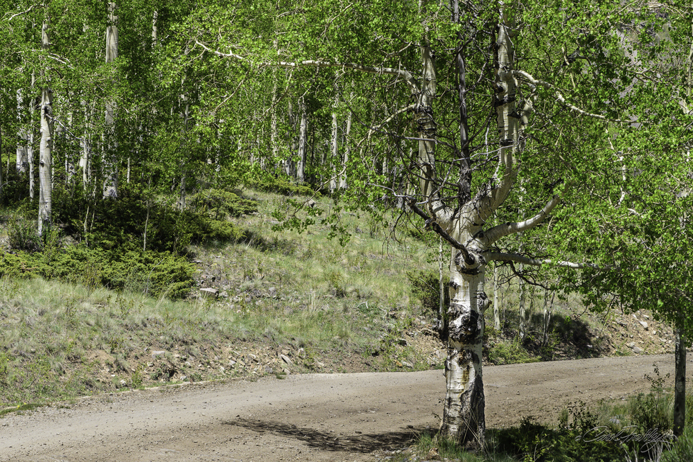 Don't you just love rebellious aspen trees that simply do not 'follow form'?