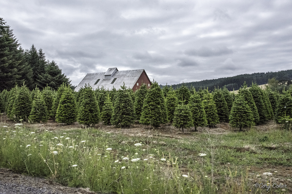 There are Christmas tree farms in the area.