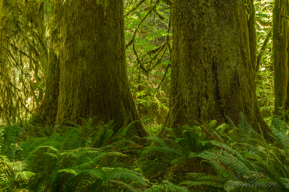 Many trees in the rain forest are HUGE, some hundreds of years old.  Yet, they have a shallow root system and can be toppled over in a big storm.  When they die they become nurseries for other trees and plants.  Walking beneath canopies that are hundreds of feet above you puts many things in perspective (I will let you come up with your own list on this observation).