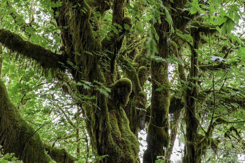 Moss, as it turns out, is not damaging to the trees.  It does not 'steal' nutrients from the tree.  Rather, it uses the tree for support and gets in nutrients form rain, which is very plentiful in the rain forest.