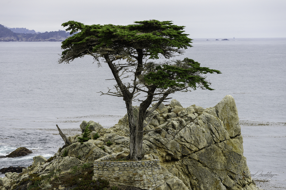 Lonely Cypress