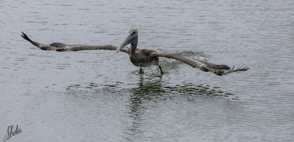 One has to smile as the pelicans take off or land. They are not the most graceful!