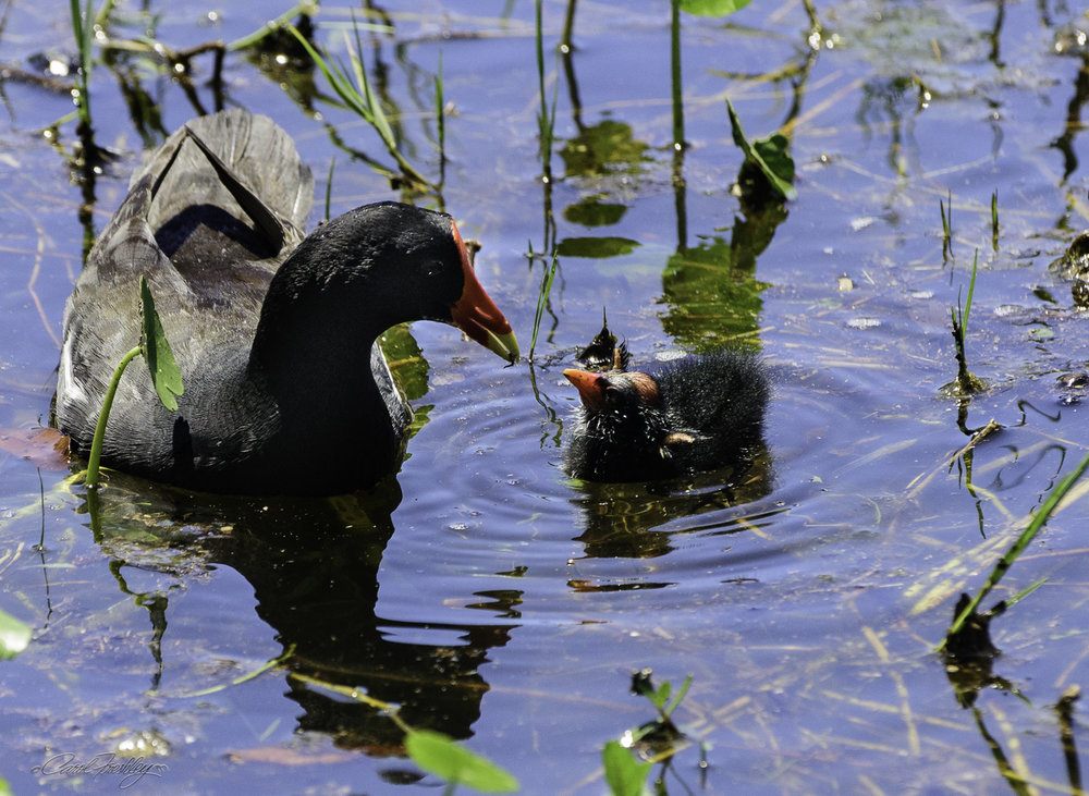 The mom and dad were busy finding small items to feed their new ducklings.