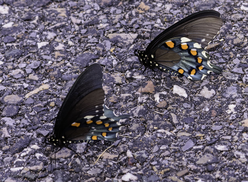 These are the same butterflies as above.  It appeared that they were attracted to something that had been spilled on the pavement.
