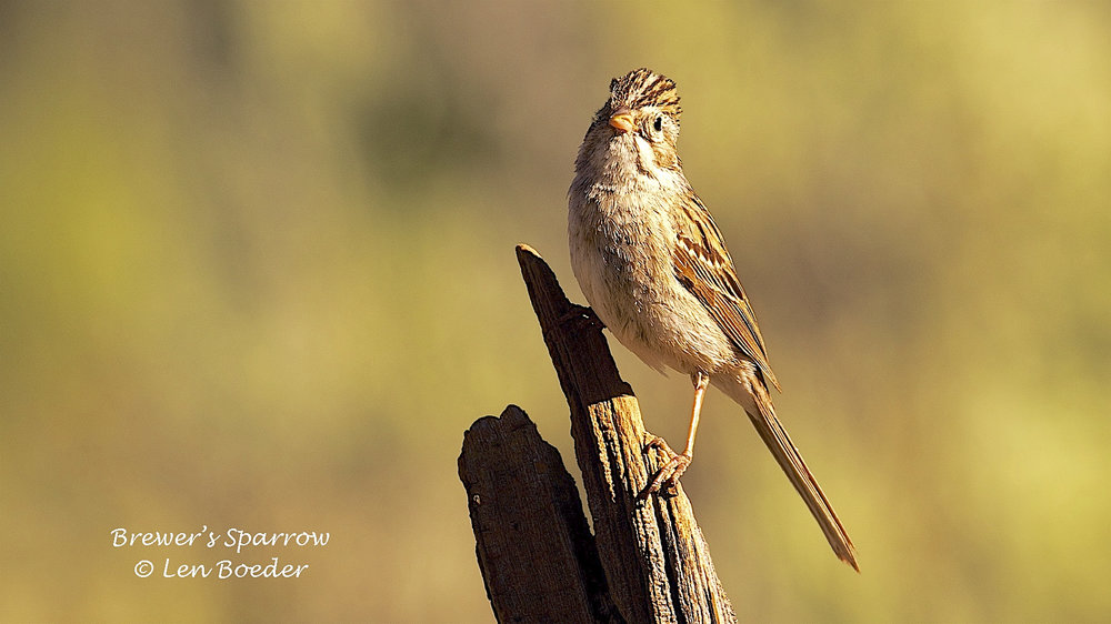 Brewer's Sparrow 992.jpg
