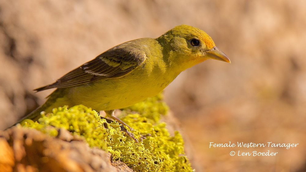 Female Western Tanager 1051.jpg
