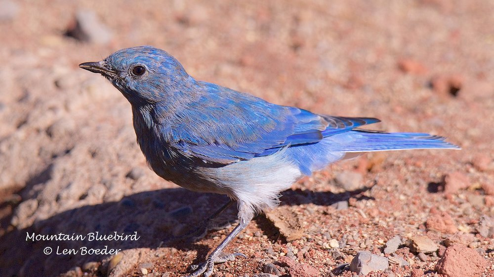 Mountain Bluebird 1077.jpg