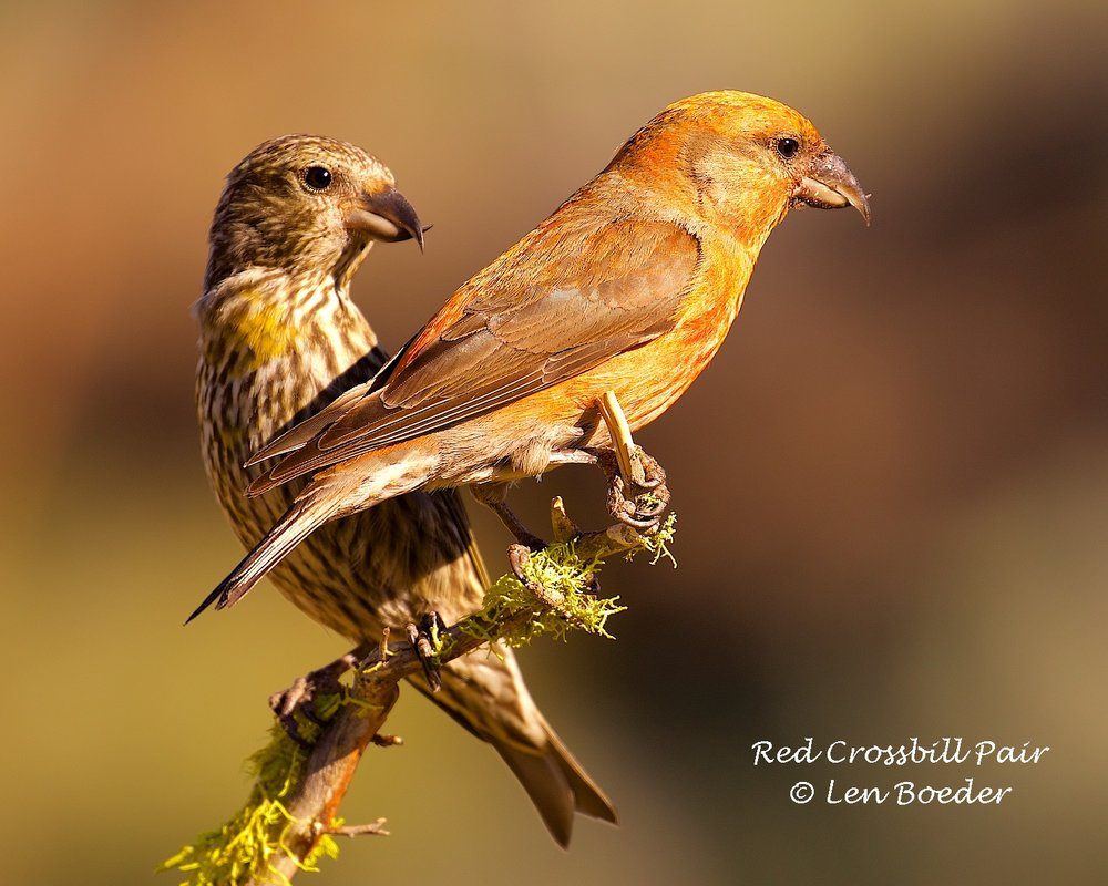 Red Crossbill Pair 988.jpg