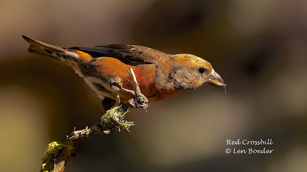 Red Crossbill 1003.jpg