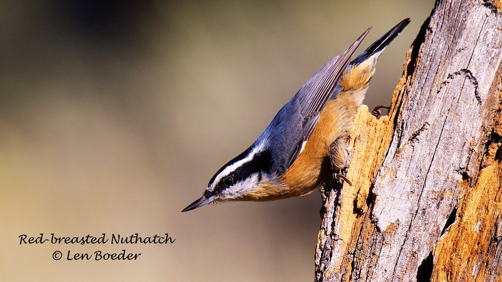 Red-breasted Nuthatch 1050 (1).jpg