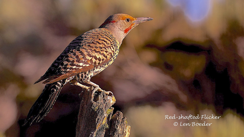 Red-shafted Flicker 987.jpg
