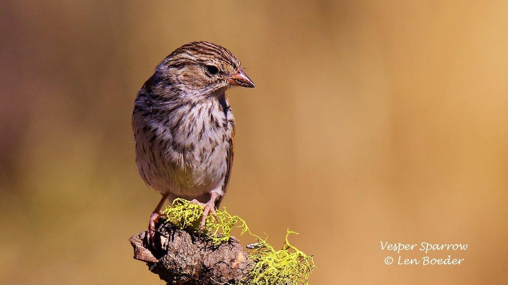 Vesper Sparrow 1051.jpg