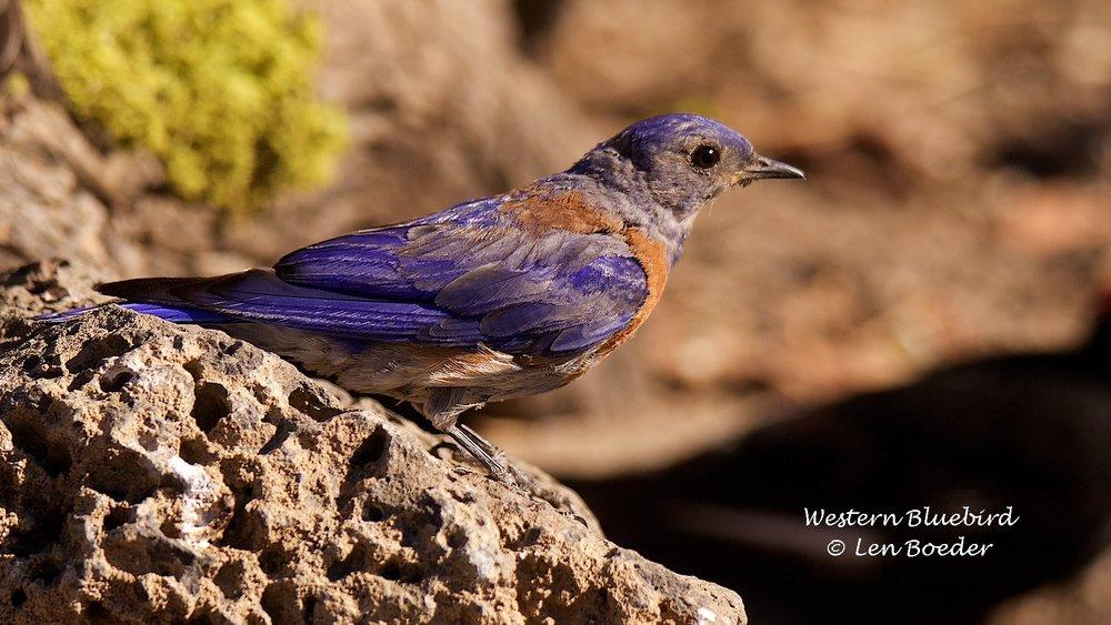 Western Bluebird 998.jpg