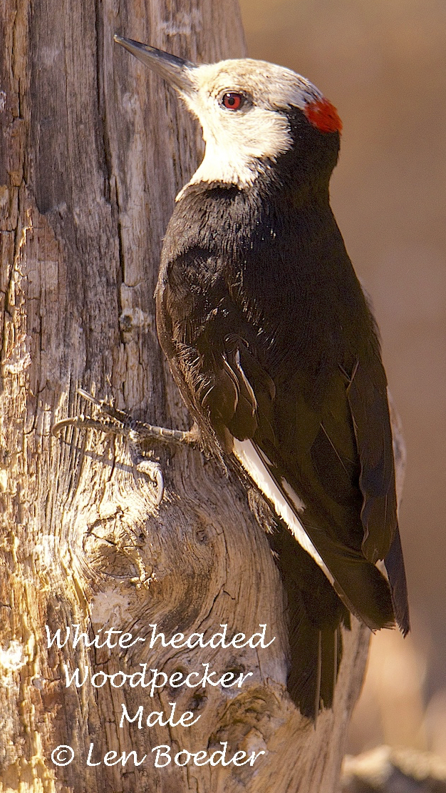 White-headed Woodpecker Male 1055.jpg