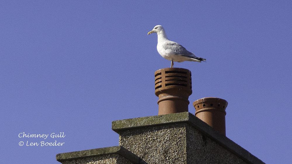 Chimney Gull 1034.jpg