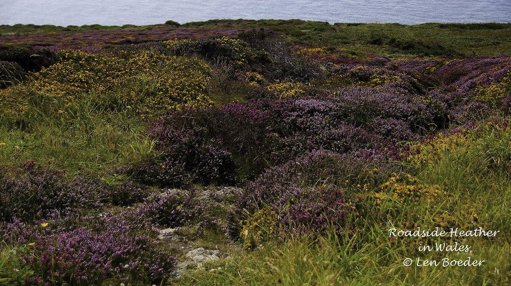 Roadside Heather_.jpg