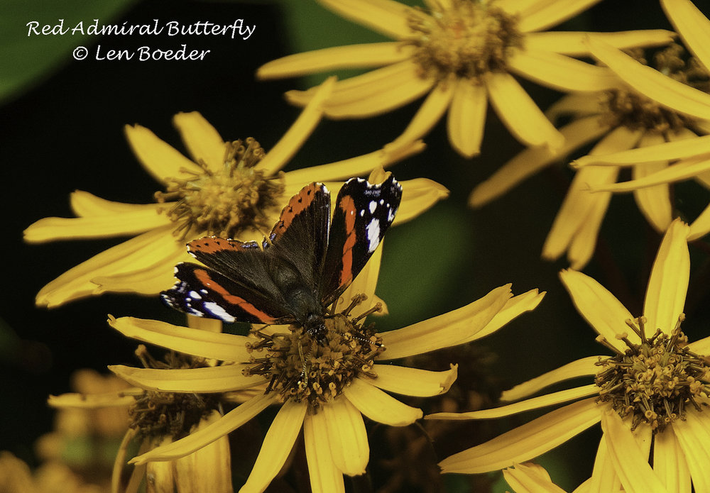 Red Admiral Butterfly 1035.jpg
