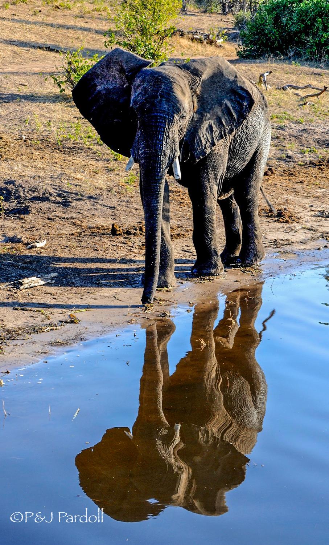 Elephant, Chobi N.P. Botswana