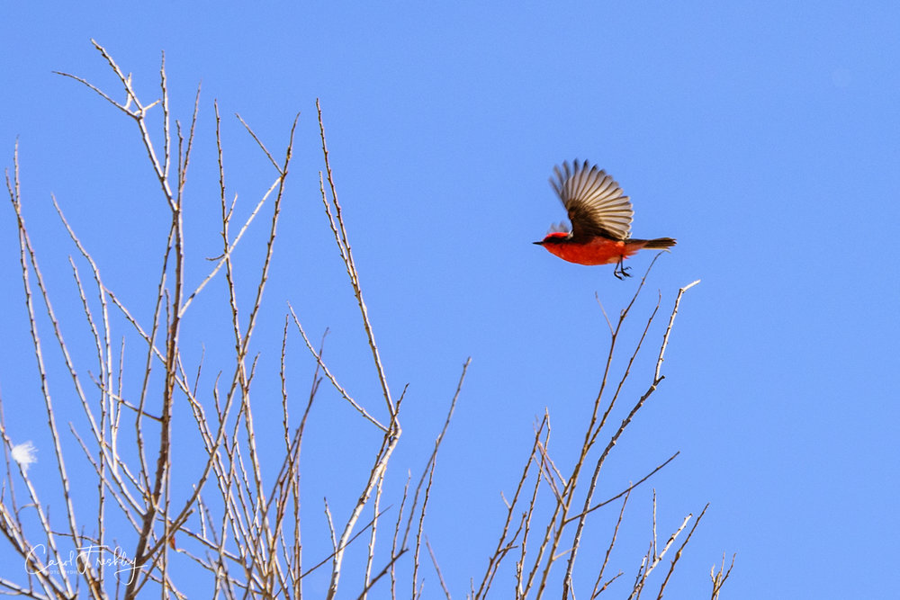 I tried so hard to get a good photograph of this Vermilion Flycatcher.  They are FAST!