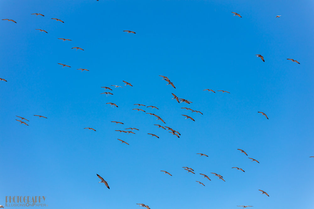 When the cranes do return they do so in waves, some as many as 100+ birds.