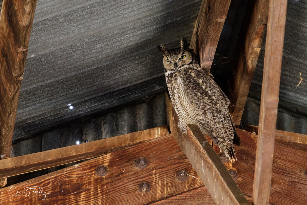 Several people mentioned that there were Barn Owls and Horned Owls in the 'barn' a structure near the parking lot.  We only saw this one.  He seemed very at ease with photographers being close by.