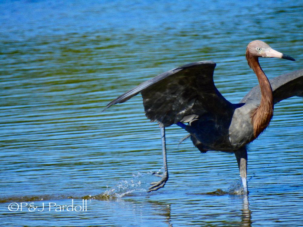 Reddhish Egret