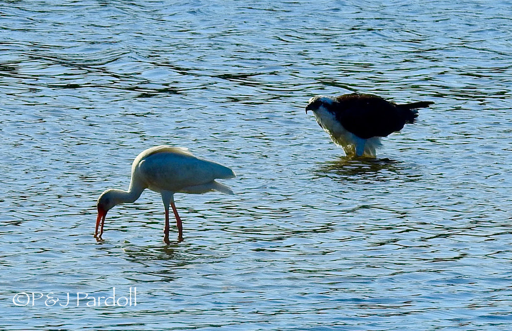 Ibis with Osprey