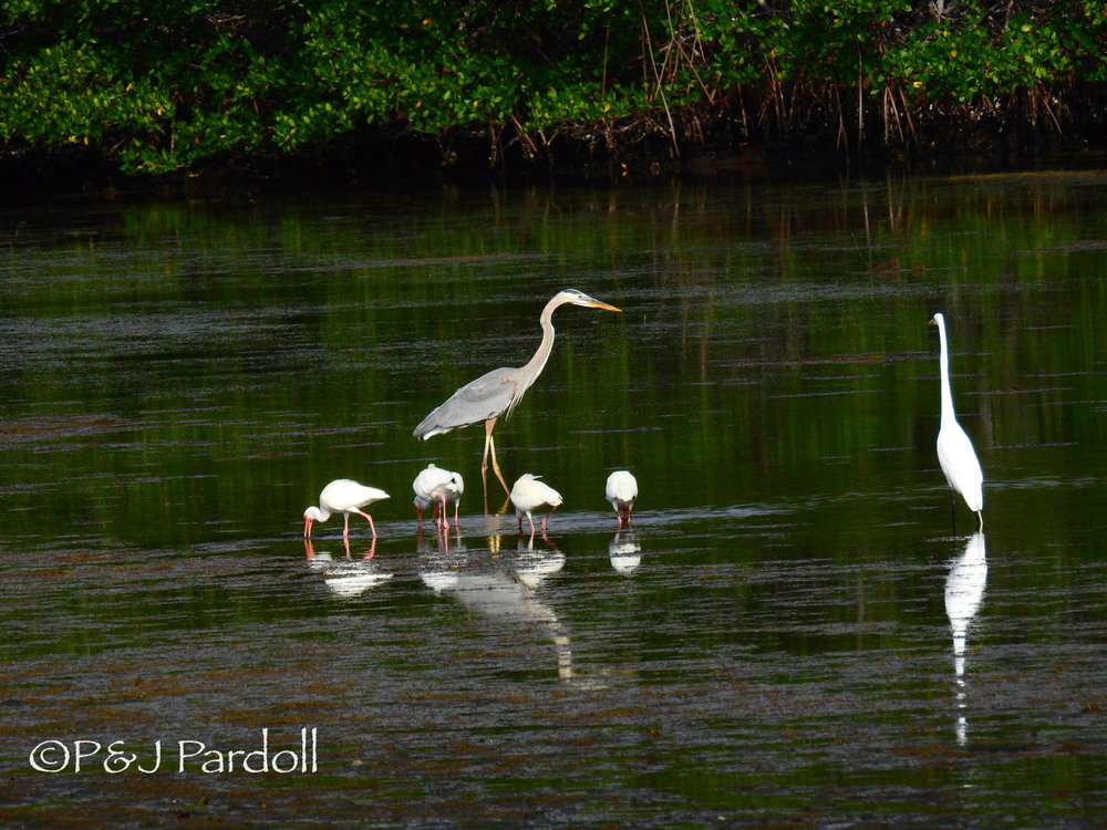 Great Blue Heron, White Ibis and Great Egret