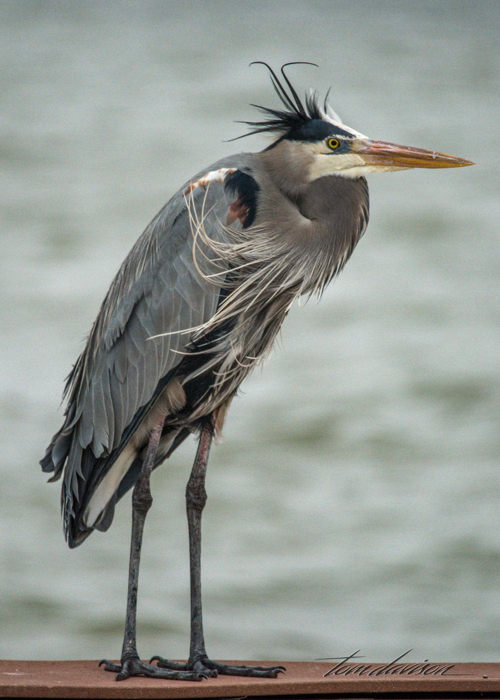 Tricolor Great Heron