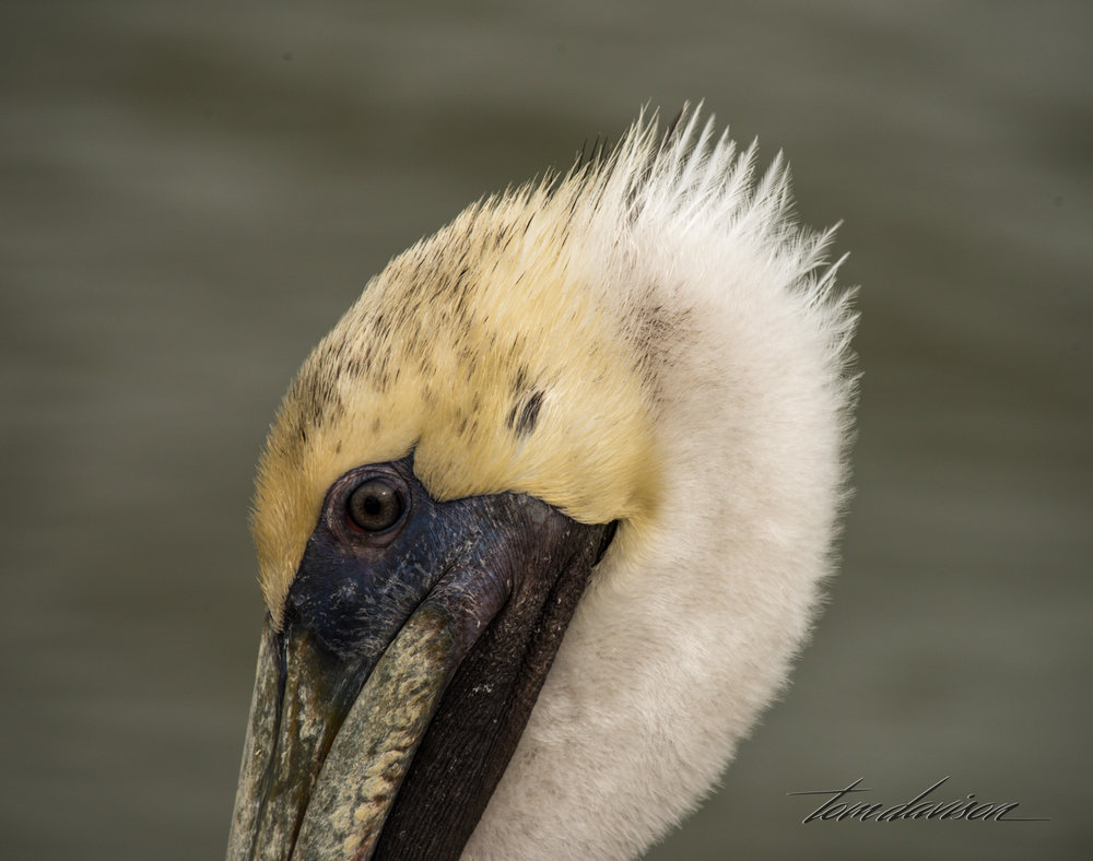 Brown Pelican (here's lookin' at ya baby!)