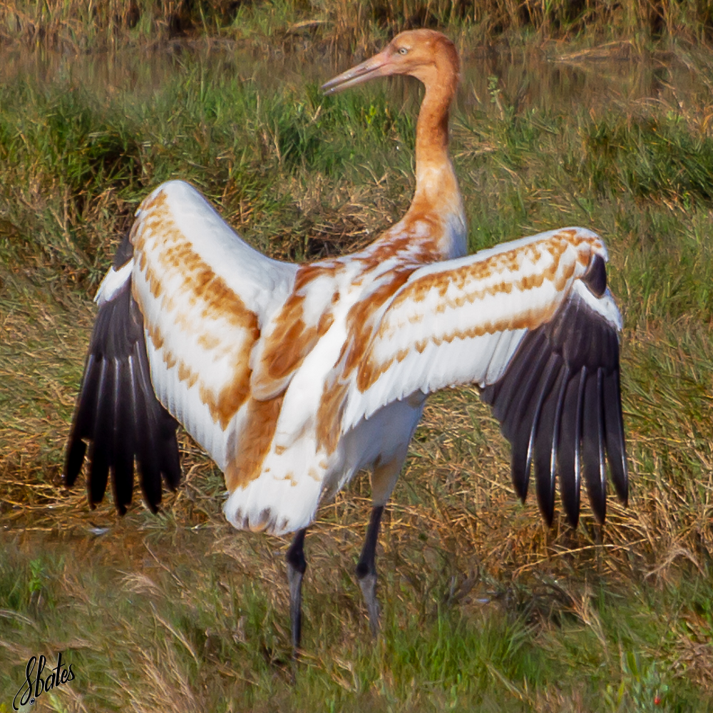 Colt Whooping Crane