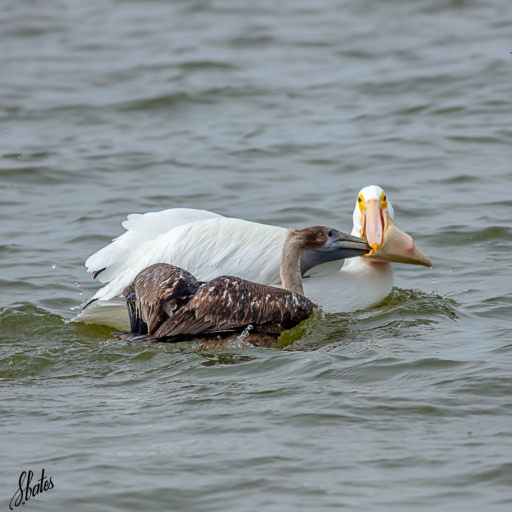 American Pelican taking food from a Brown Pelican