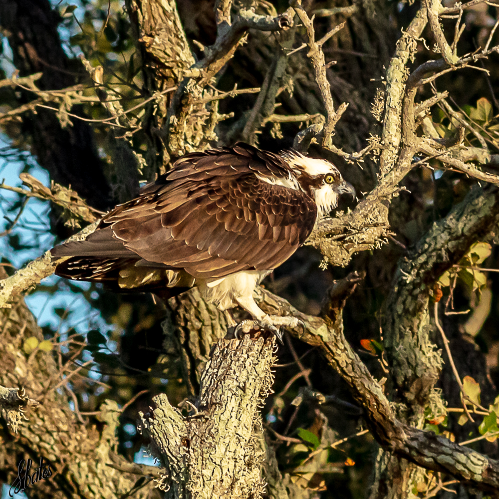 Osprey (we think)