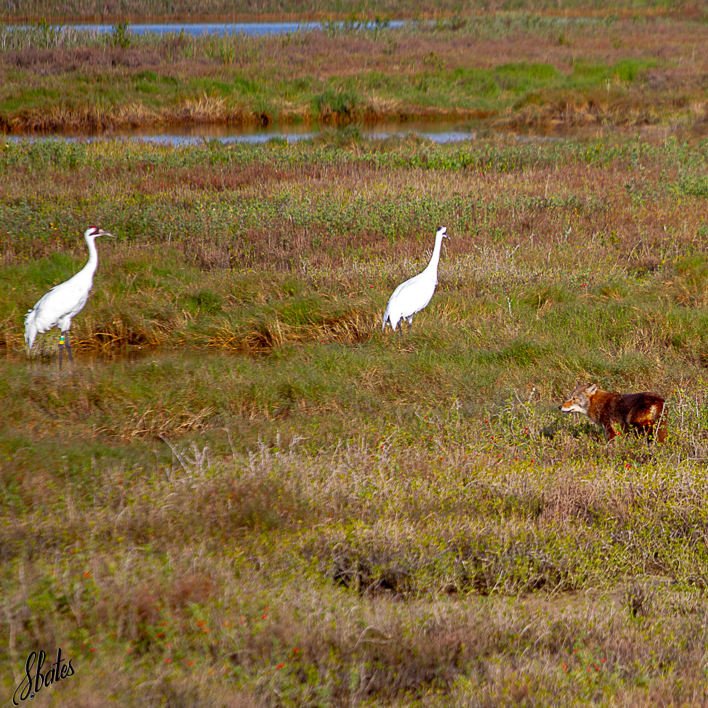 Whooping Cranes with a coyote nearby (he does not consider them prey and they ignore him)