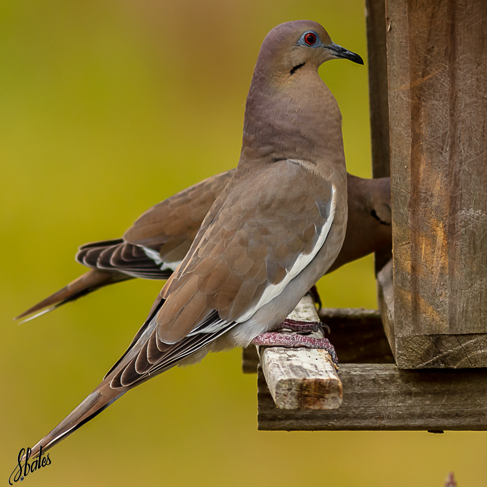 Morning Dove at Steve's feeder