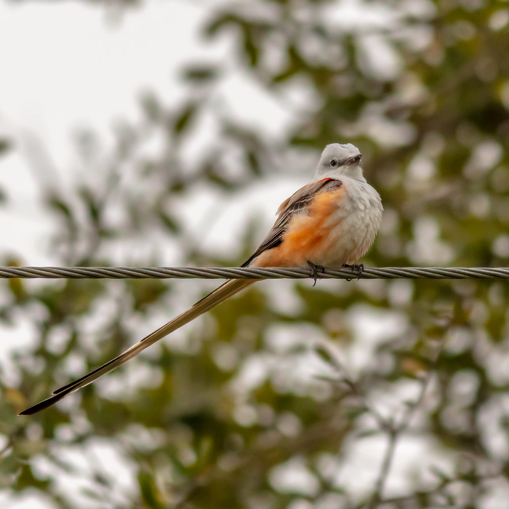Split-tailed Fly Catcher