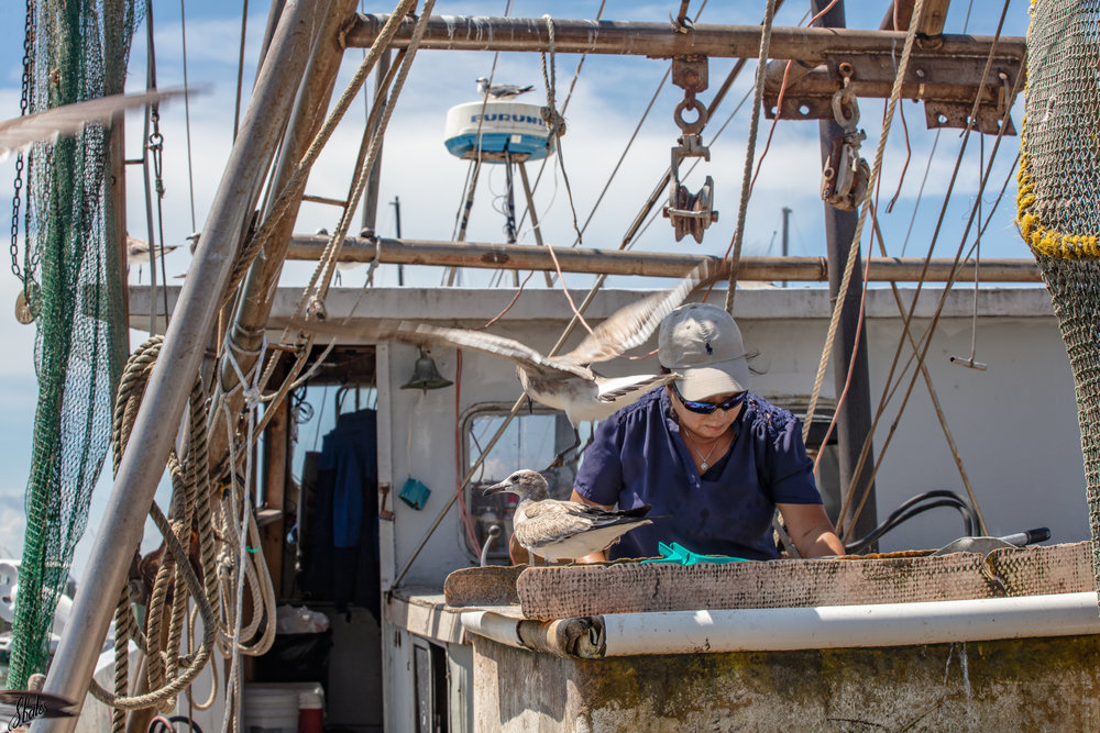 Dredged oysters are thrown on tables where they are sorted. Undersized and dead oysters are thrown back into the water. Fishermen are fined if they keep too many undersized oysters.