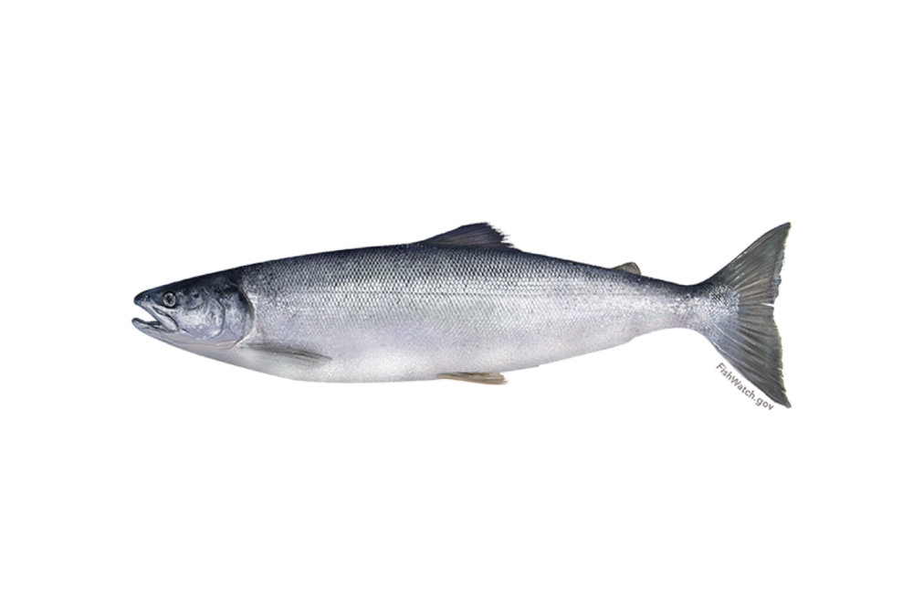 Sockeye Salmon   Scientific name:    Oncorhynchus nerka    Description:  Sockeye has the reddest flesh of any salmon species, and its rich meaty flesh has a high oil content.   Generally the further sockeye are caught from their natal river, the higher the quality.   (Source: FishChoice.com)