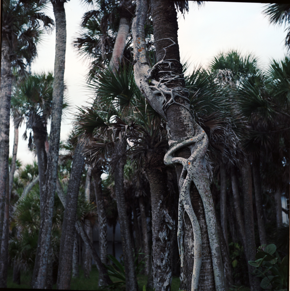 florida knotted tree.jpg