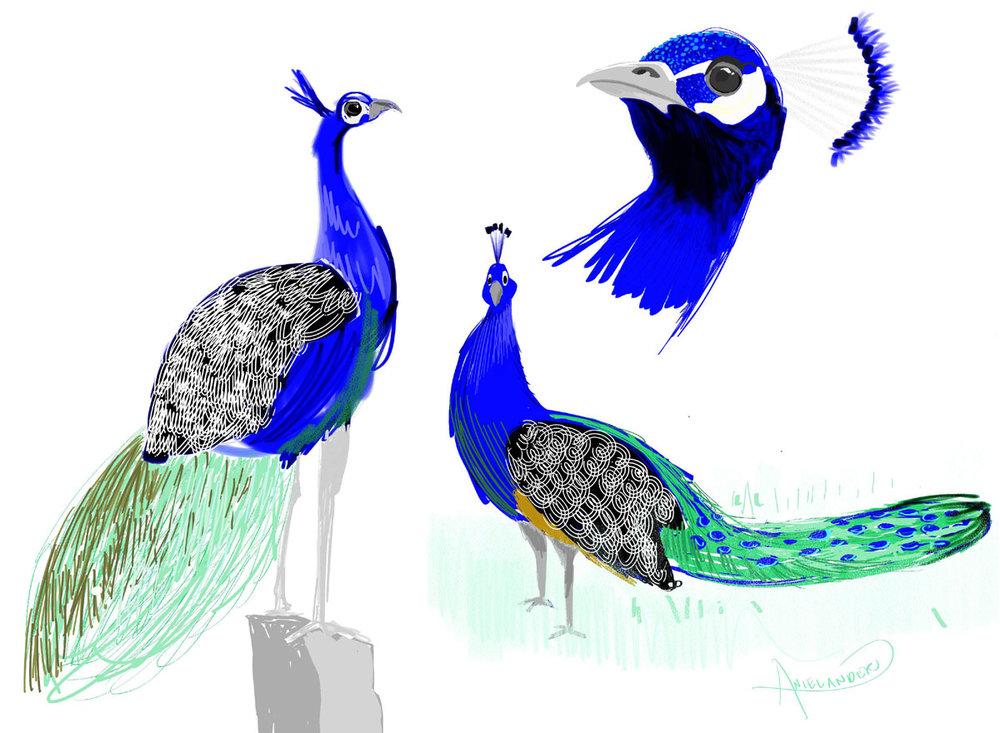 peacock2_STUDIESFLAT.jpg