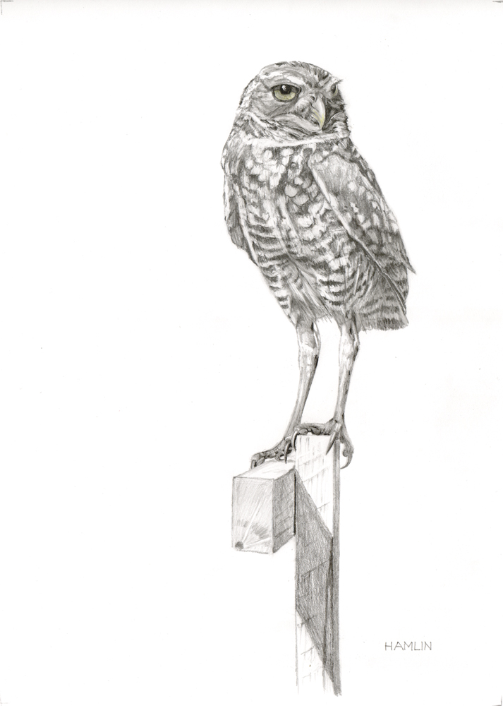31 - Lookout - Burrowing Owl, 14 x 19.5, Graphite
