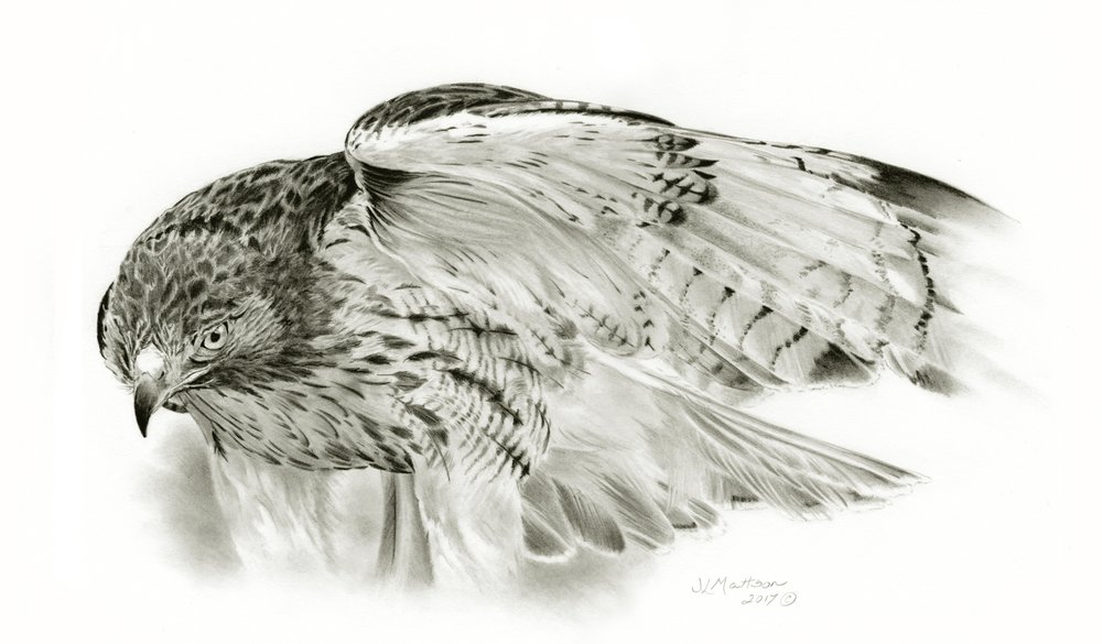 44 - Red-Tailed Hawk, 9 x 15, Graphite