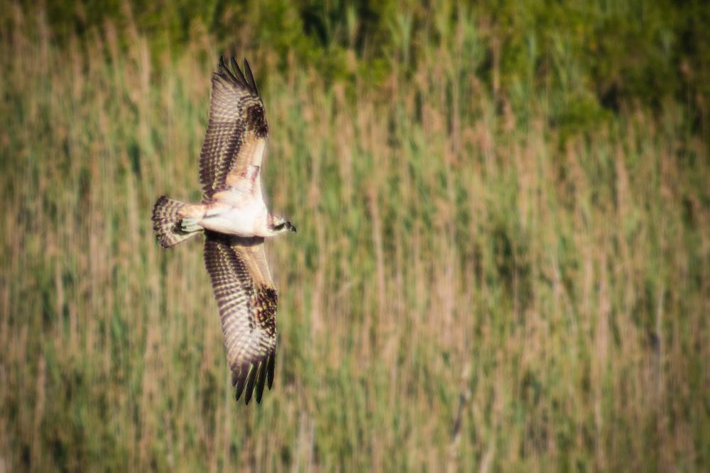 An osprey hunts over a salt pond in Narragansett, R.I., on a warm summer morning.