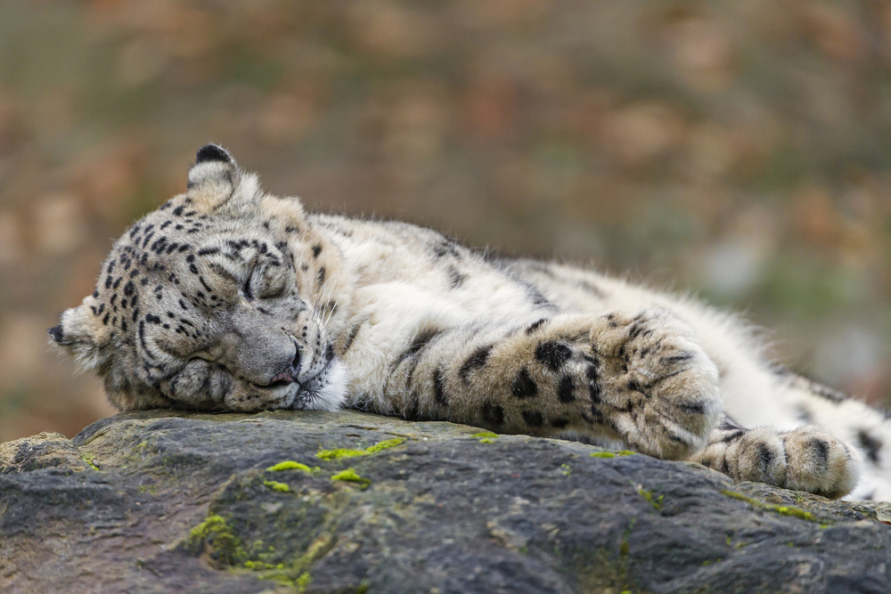 Cute sleeping Villy by Tambako The Jaguar on Flickr