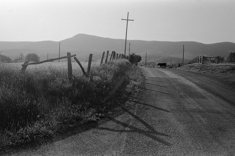 Wandering calf on Hook Hill.  Page County, Virginia.  2014.
