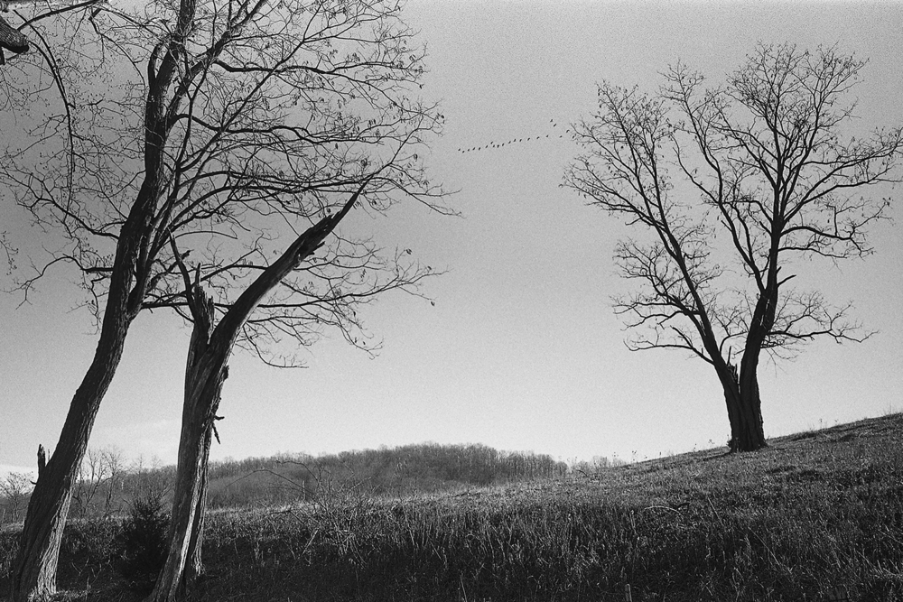 Geese.  Woodville.  Rappahannock County, Virginia.  2012.