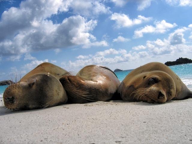 Galapagos_SeaLionPanoramic_AllieAlmario_Snapseed.jpg